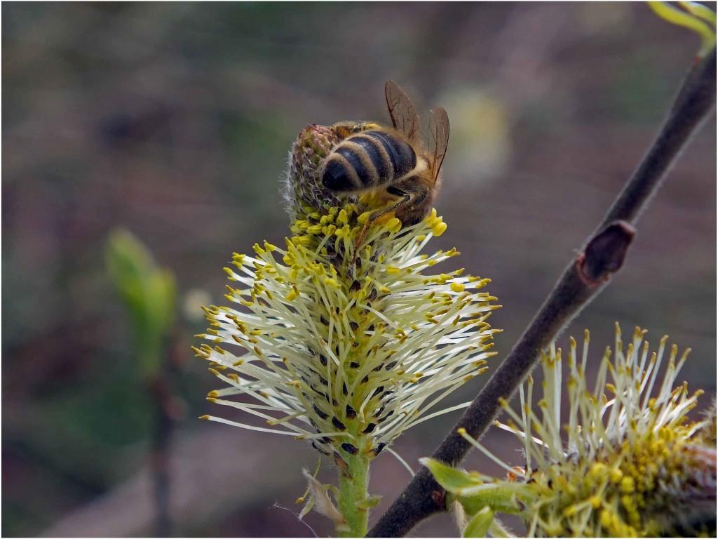 blindė ir bitė