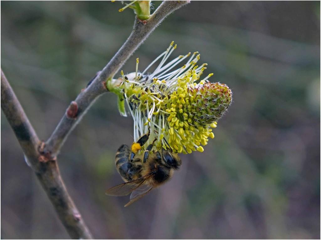 bitė renka blindės žiedadulkes