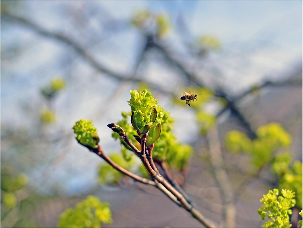 klevas_ir_bitė (2)