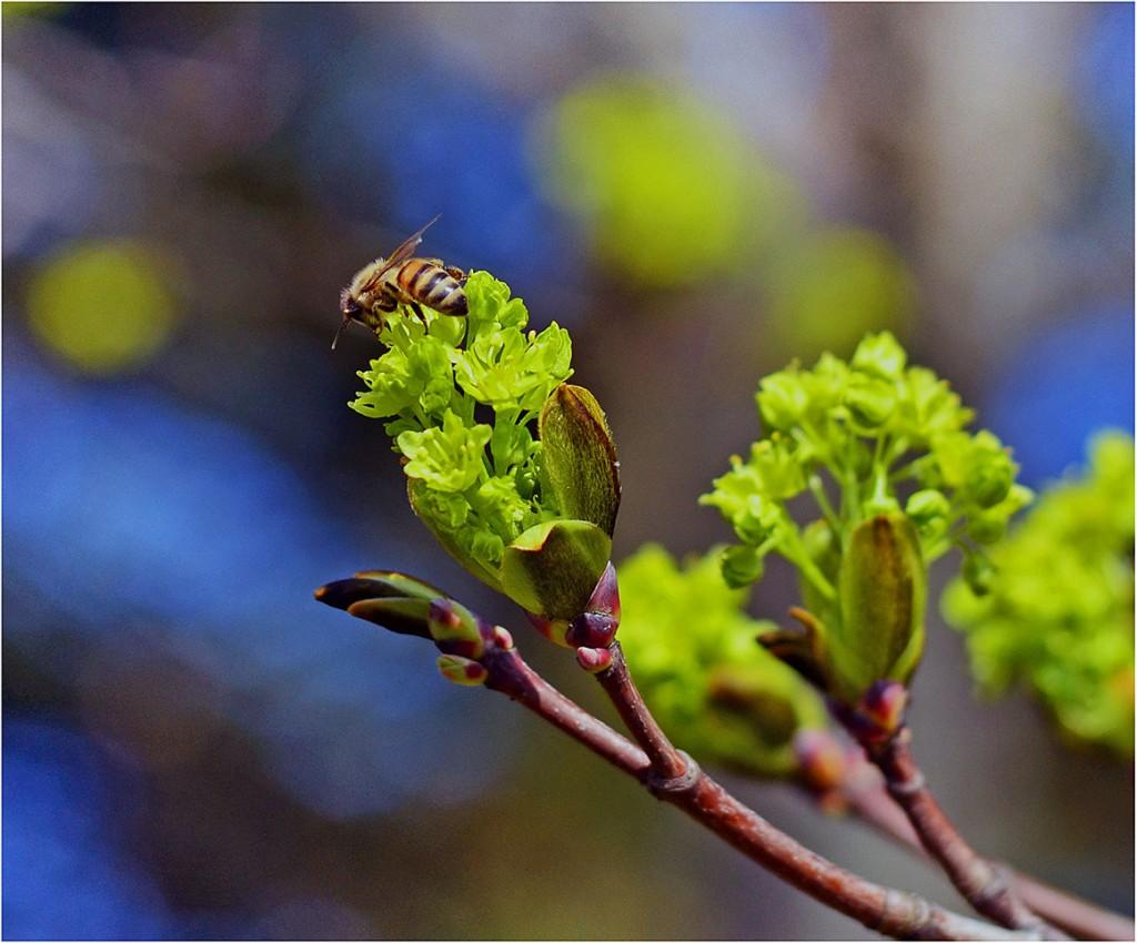 klevas_ir_bitė (3)