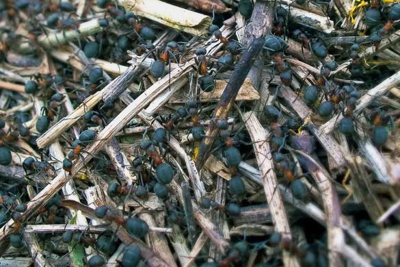 skruzdėlės bityne