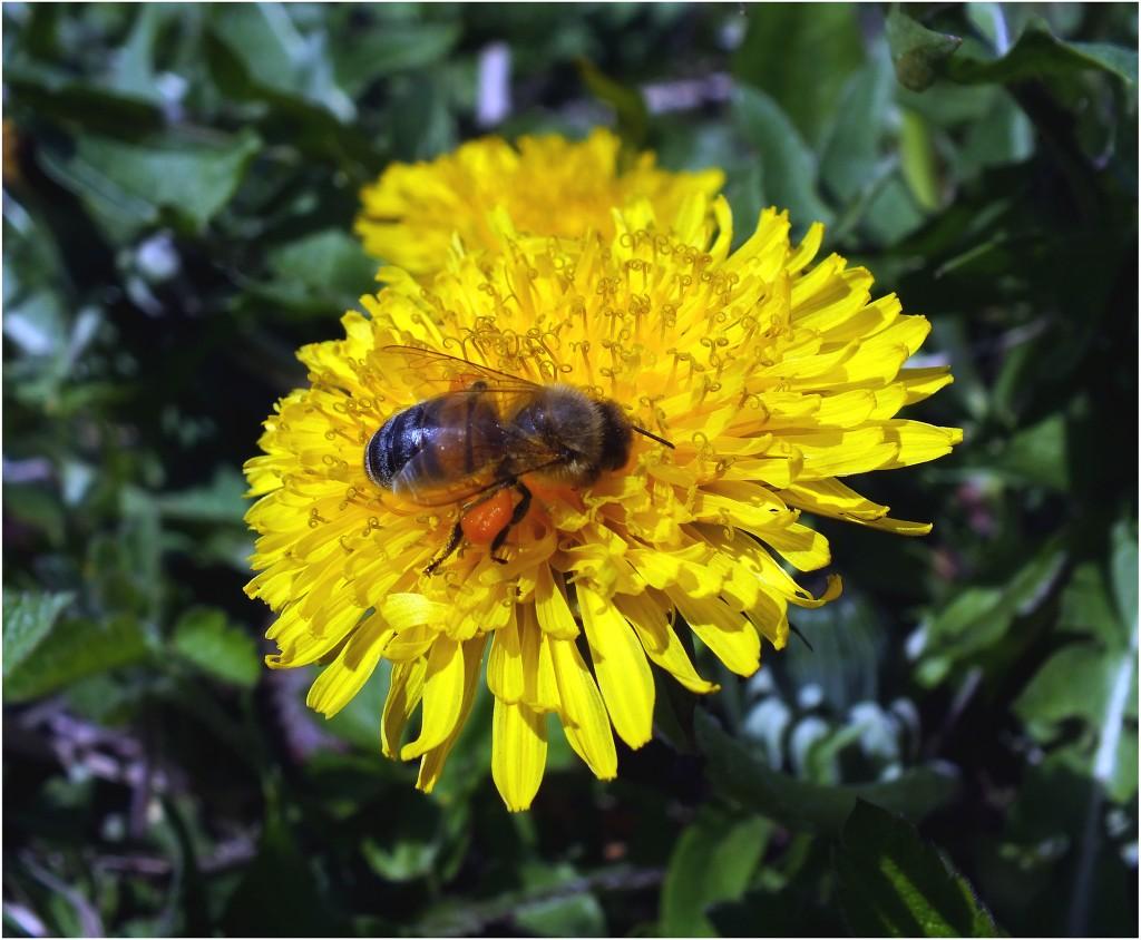 kiaulpienė ir bitė