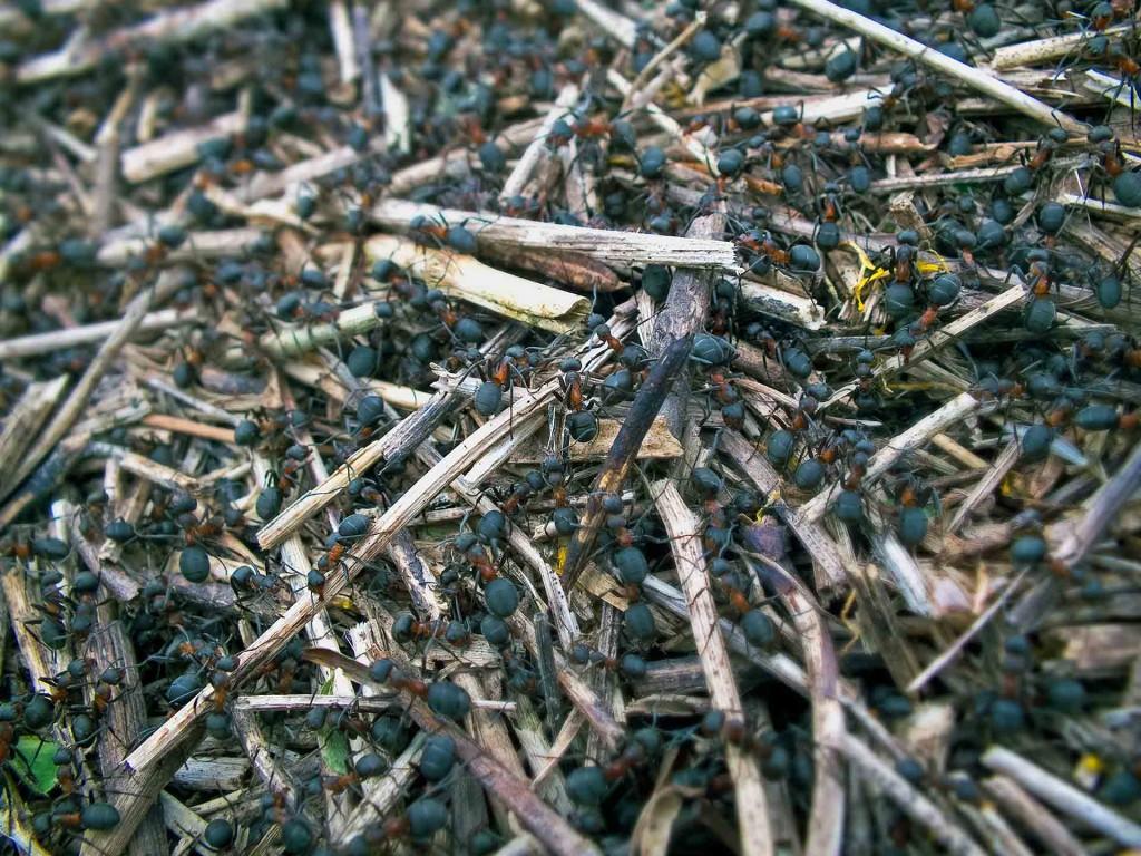 rudosios miško skruzdėlės