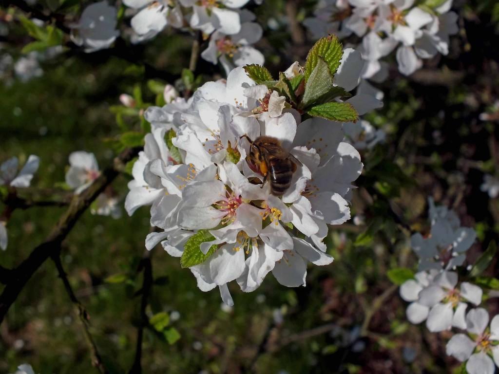 vyšnia ir bitės
