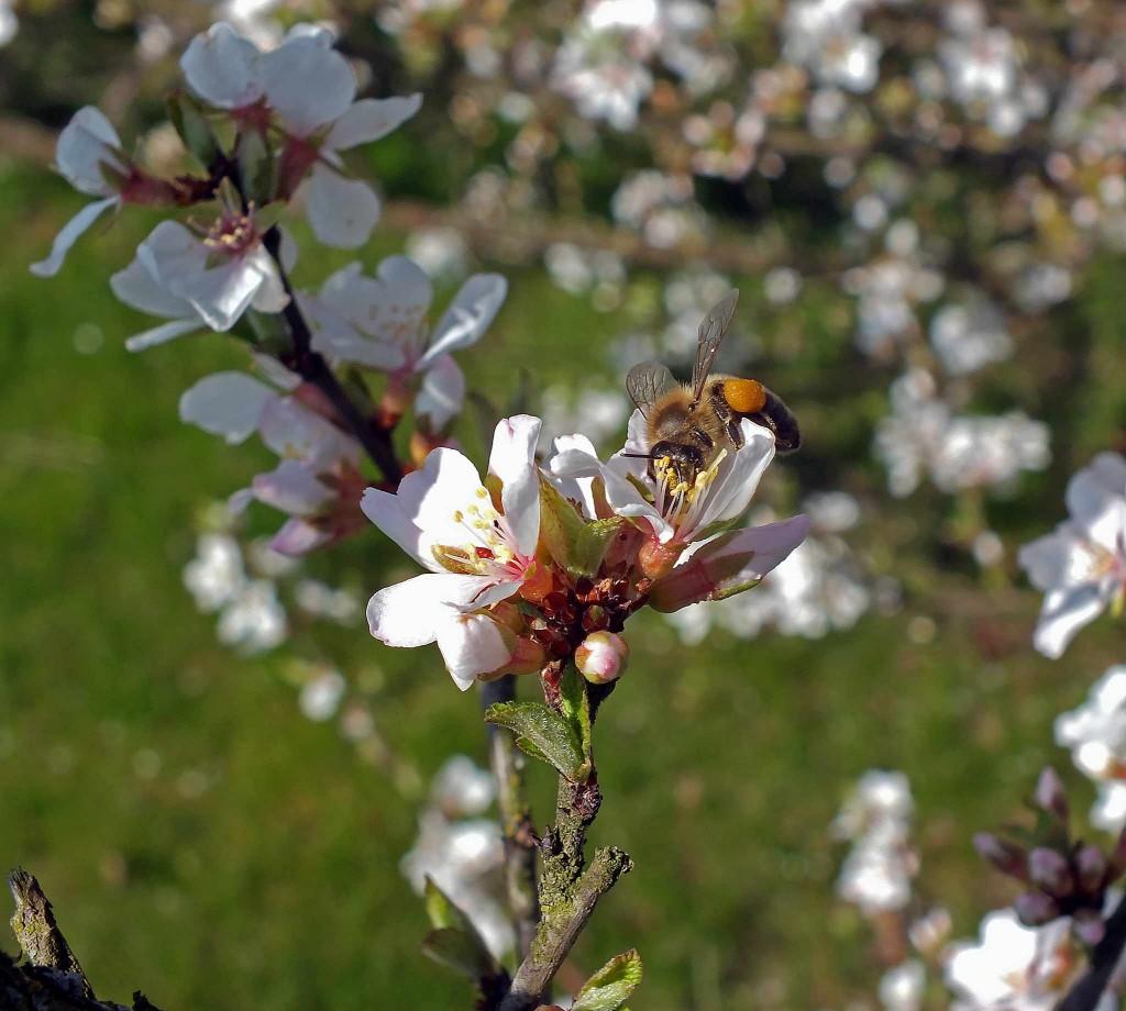 vyšnia ir bitė