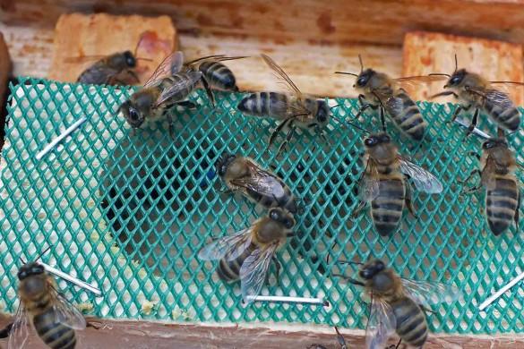 bičių motinėlė