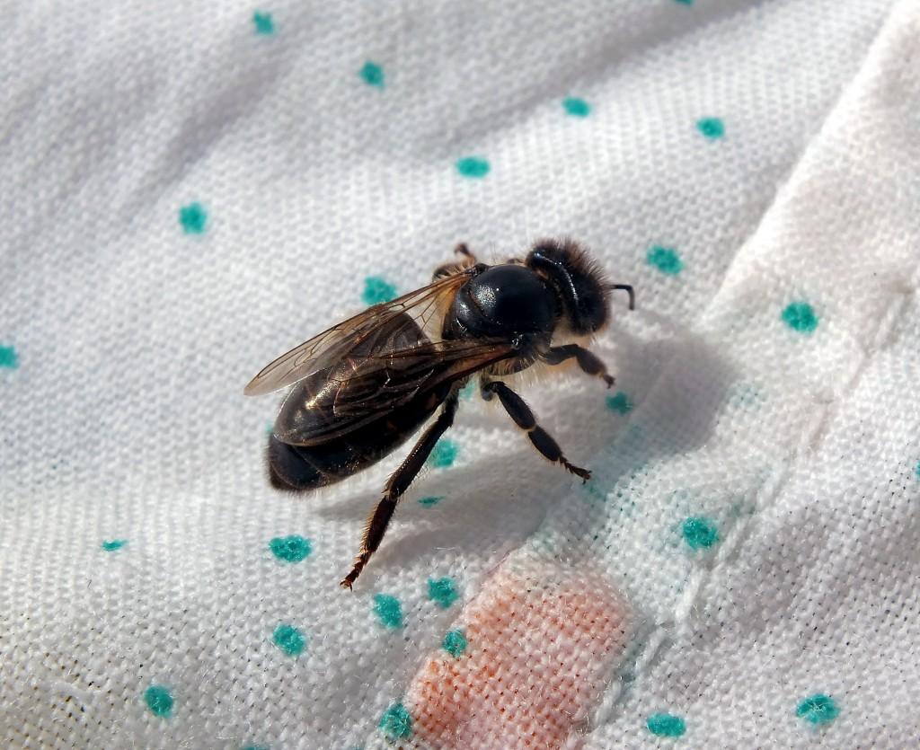 vagiliaujanti bitė
