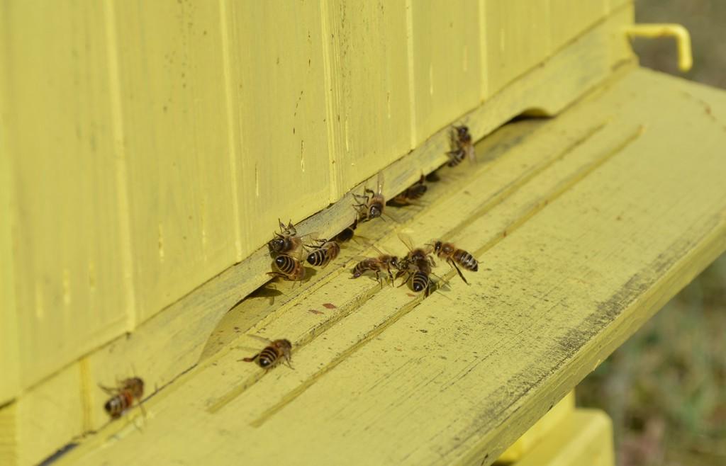 dalinis bičių apsiskraidymas