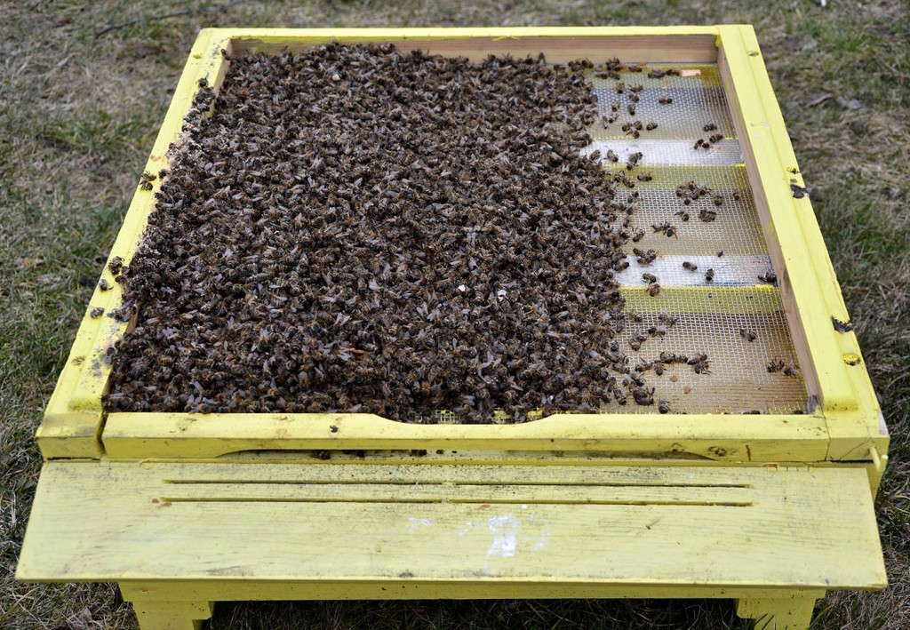 avilyje truksta maisto - mirusios bitės ant dugno