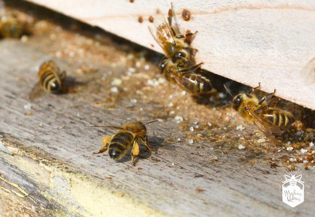 bitė-darbininkė-su-žiedadulkėmis-Medaus-kalnas