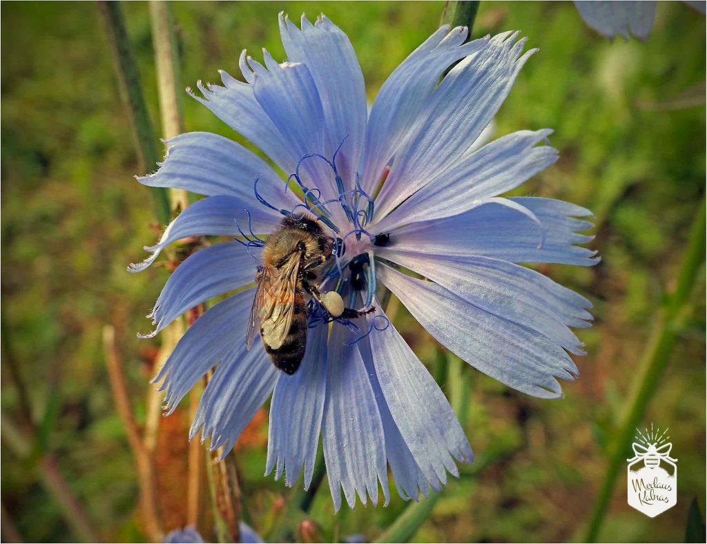 bitės-su-žiedadulkėmis-Medaus-kalnas