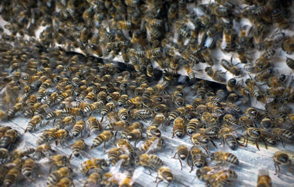 bitės prie lakos Medaus kalnas