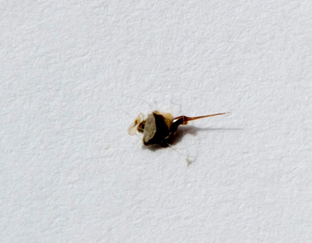 geluonis su nutrukusiu bitės pilveliu