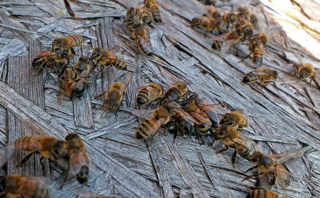 susikibusios bitės Medaus kalnas